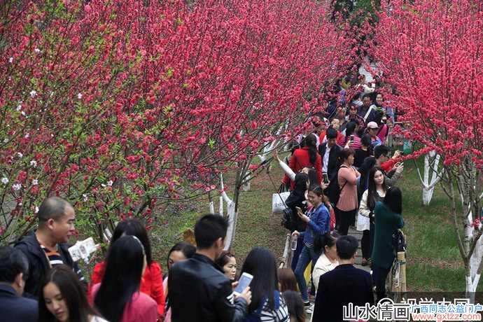 广西柳州万人赏桃花堵了几条街