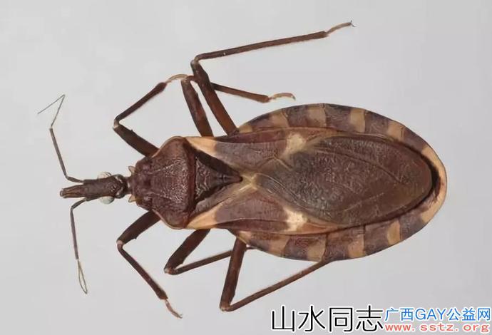 """这种虫子能传播""""新艾滋病""""!正被广州全城悬赏缉拿"""
