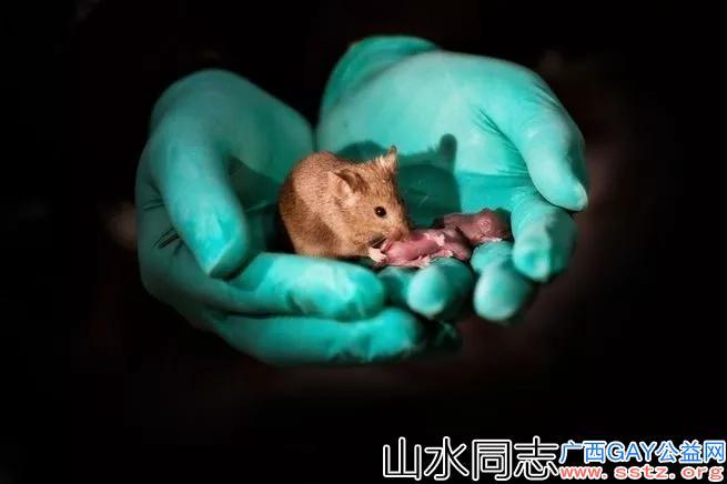 同性繁殖在老鼠身上成功!未来生孩子无需再男女搭配