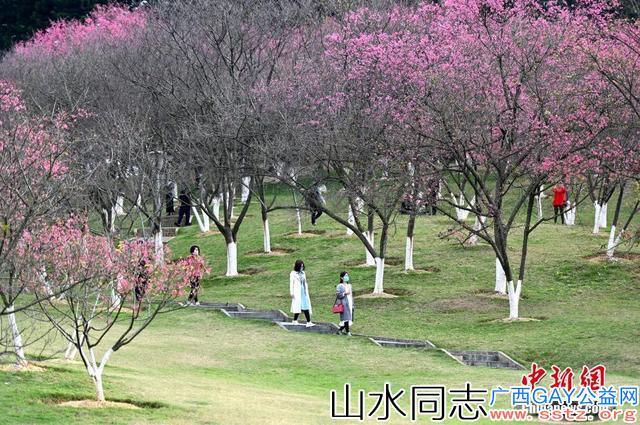 满春归园,南宁樱花盛放,市民戴口罩观赏!